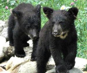 two baby bears at Mountain River Lodge