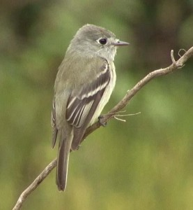 The Hammond Flycatcher