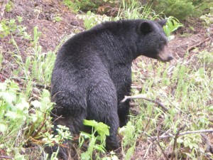 black bear near  north thompson highway