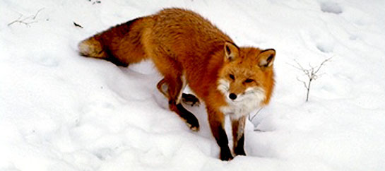 If you are patient, you might see a fox like this one foraging or hunting in the snow.
