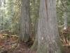 cedar-forest-blt