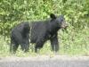 bear-bathing