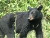 bear-close